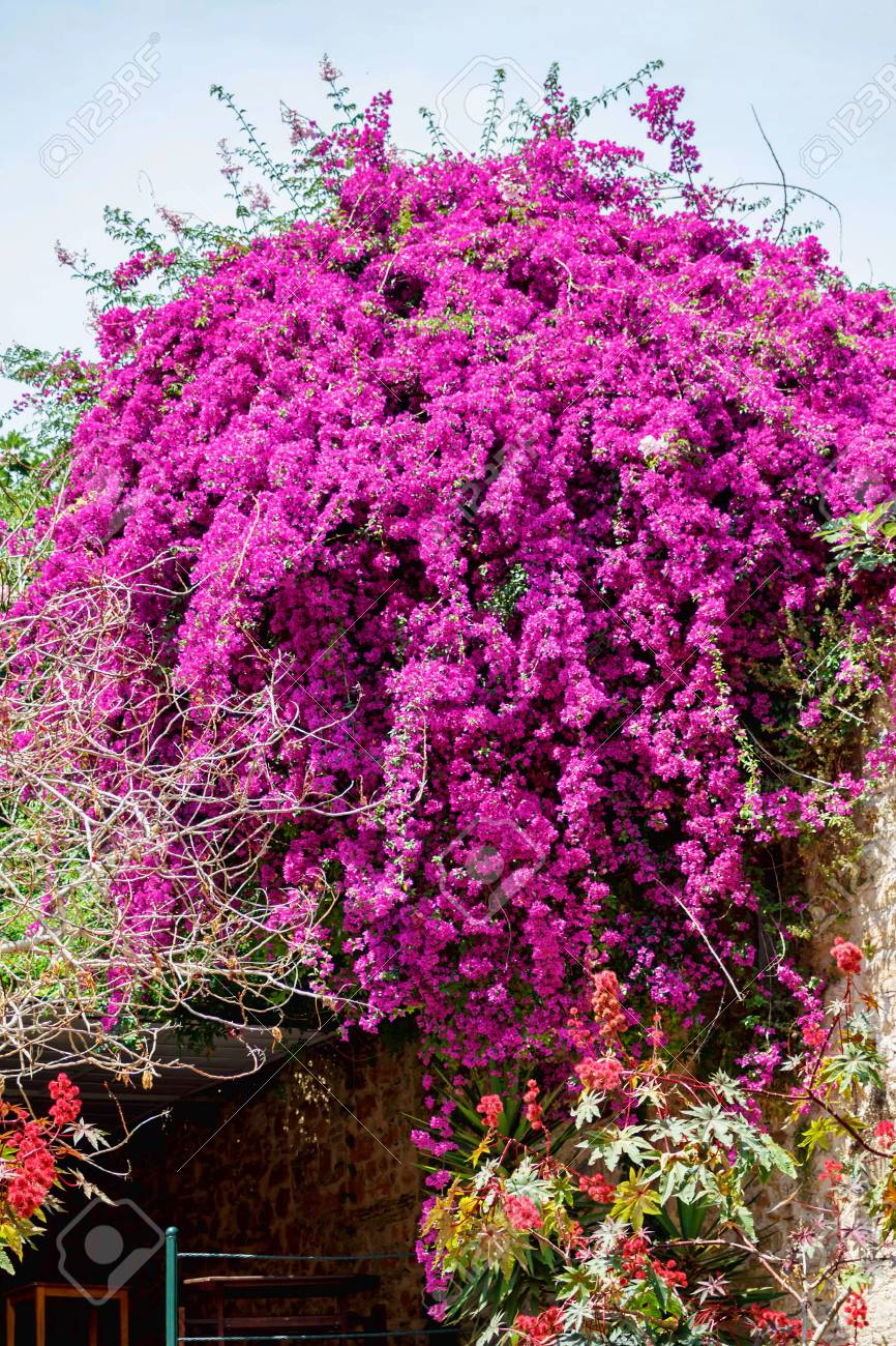 Beautiful Purple Flowers On A Green Jacaranda Tree Peoples Houses Stock Photo Picture And Royalty Free Image Image 81558401