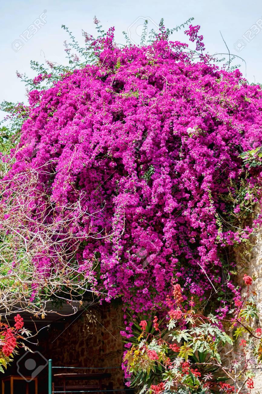 Beautiful purple flowers on a green jacaranda tree peoples houses beautiful purple flowers on a green jacaranda tree peoples houses backgorund greece corfu mightylinksfo