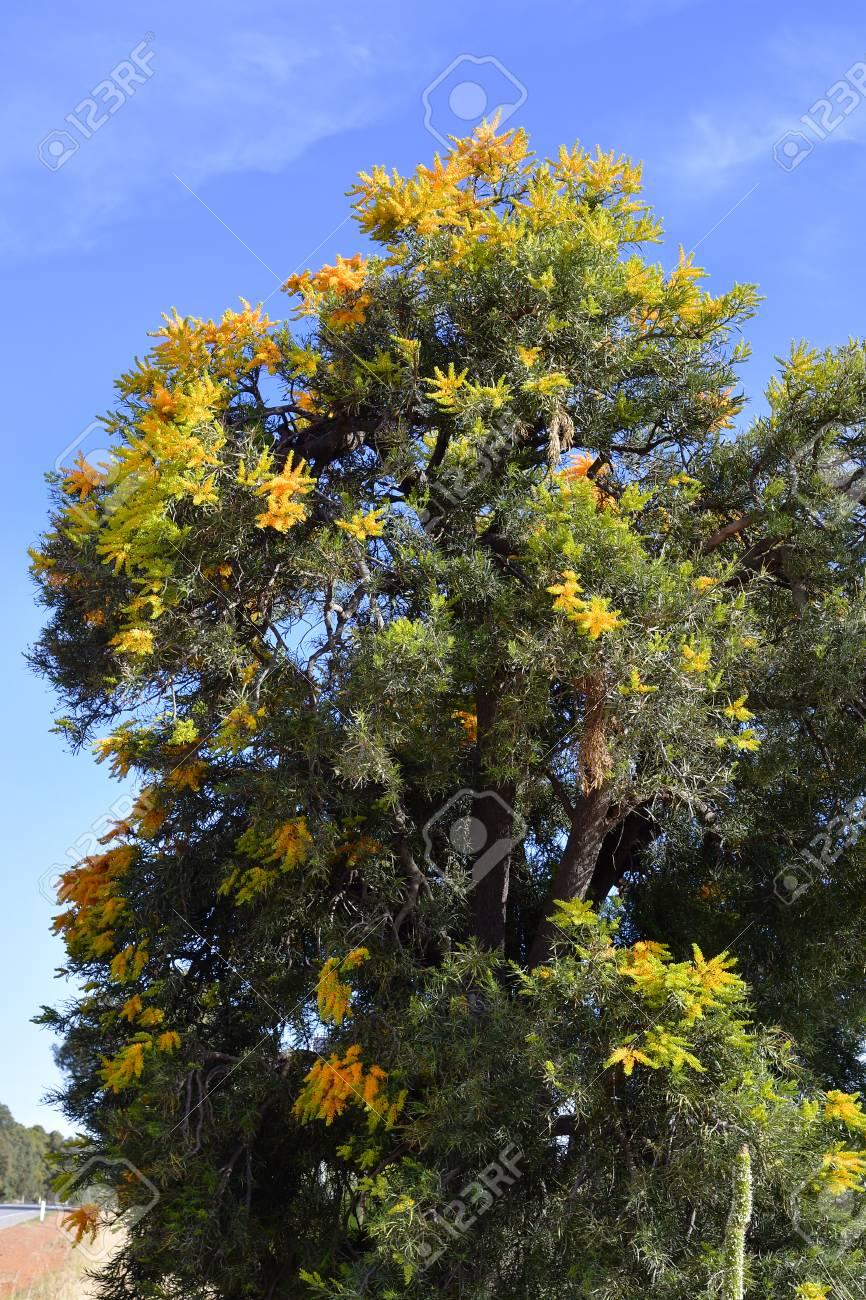 Australian Christmas Tree Pine.Australia Nuytsia Floribunda Aka Western Australian Christmas