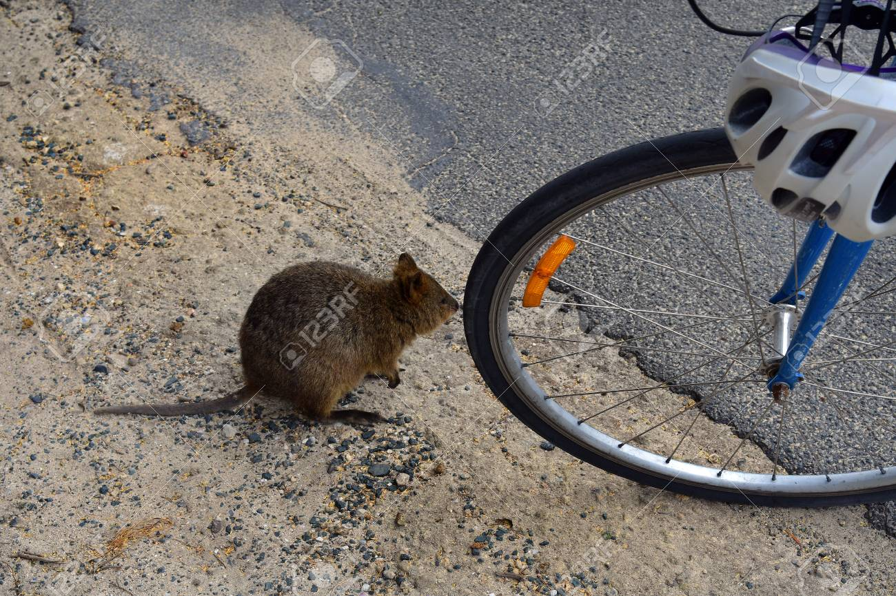Australia, Curious Quokka With Bicycle On Rottnest Island Stock ...