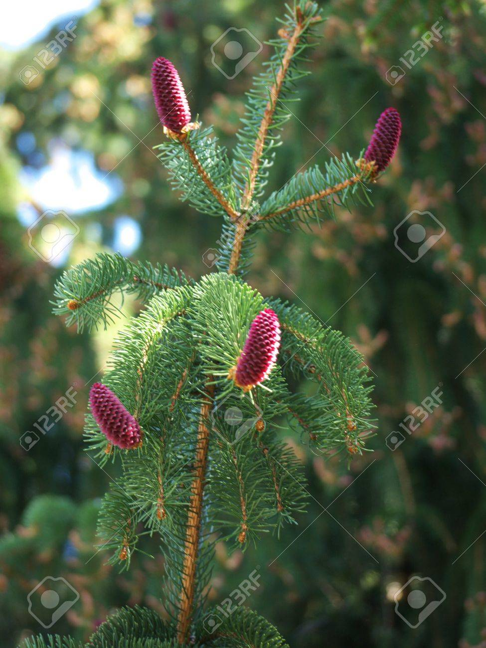 Purple Pine Cones On A Tree Stock Photo Picture And Royalty Free