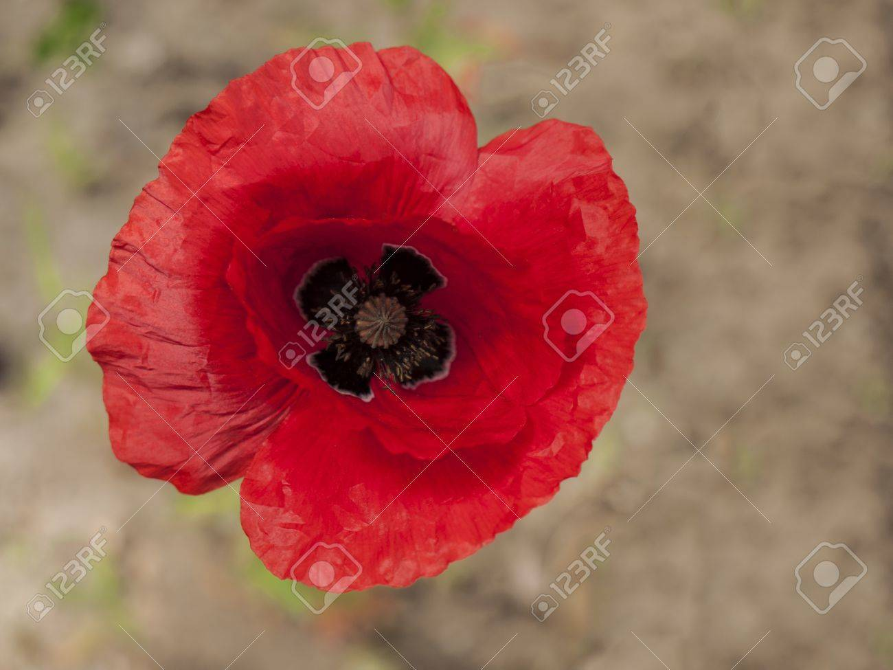 Single Open Poppy Flower From Above Stock Photo Picture And Royalty