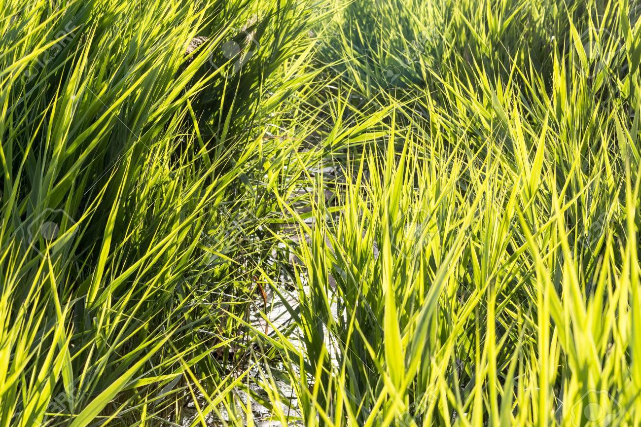 https://previews.123rf.com/images/frix12345/frix123451407/frix12345140700011/29673132-Matorrales-de-alta-hierba-de-la-juncia-por-un-estanque-en-un-d-a-soleado-de-verano-Foto-de-archivo.jpg