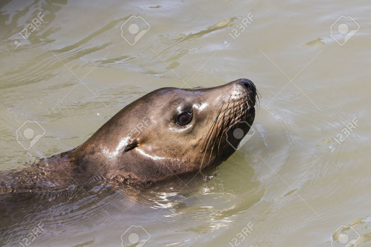 a sea lion swims past the pier and looks out of the water sea lions