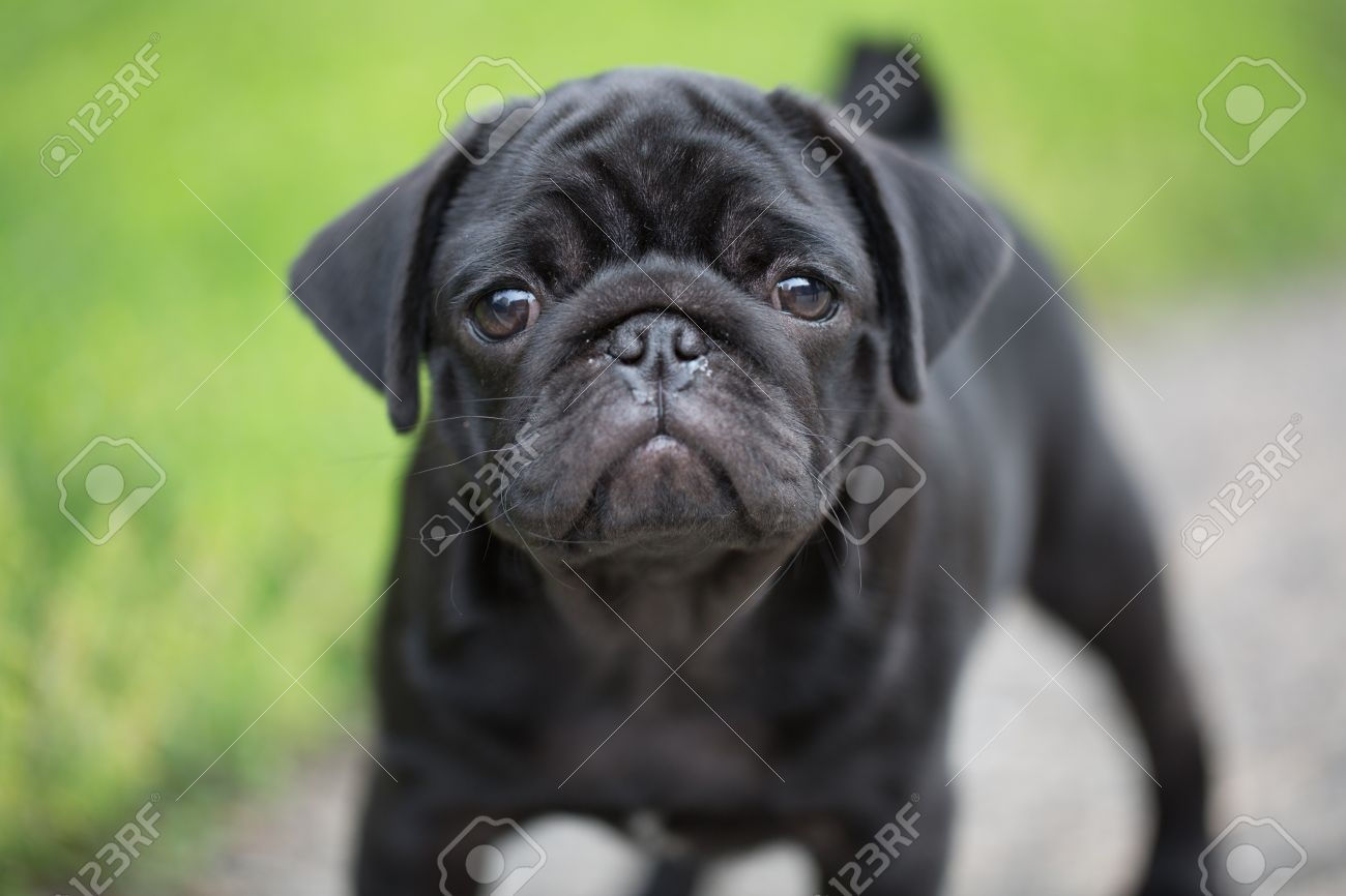 Little Black Pug Puppy Stock Picture And Royalty Free Image