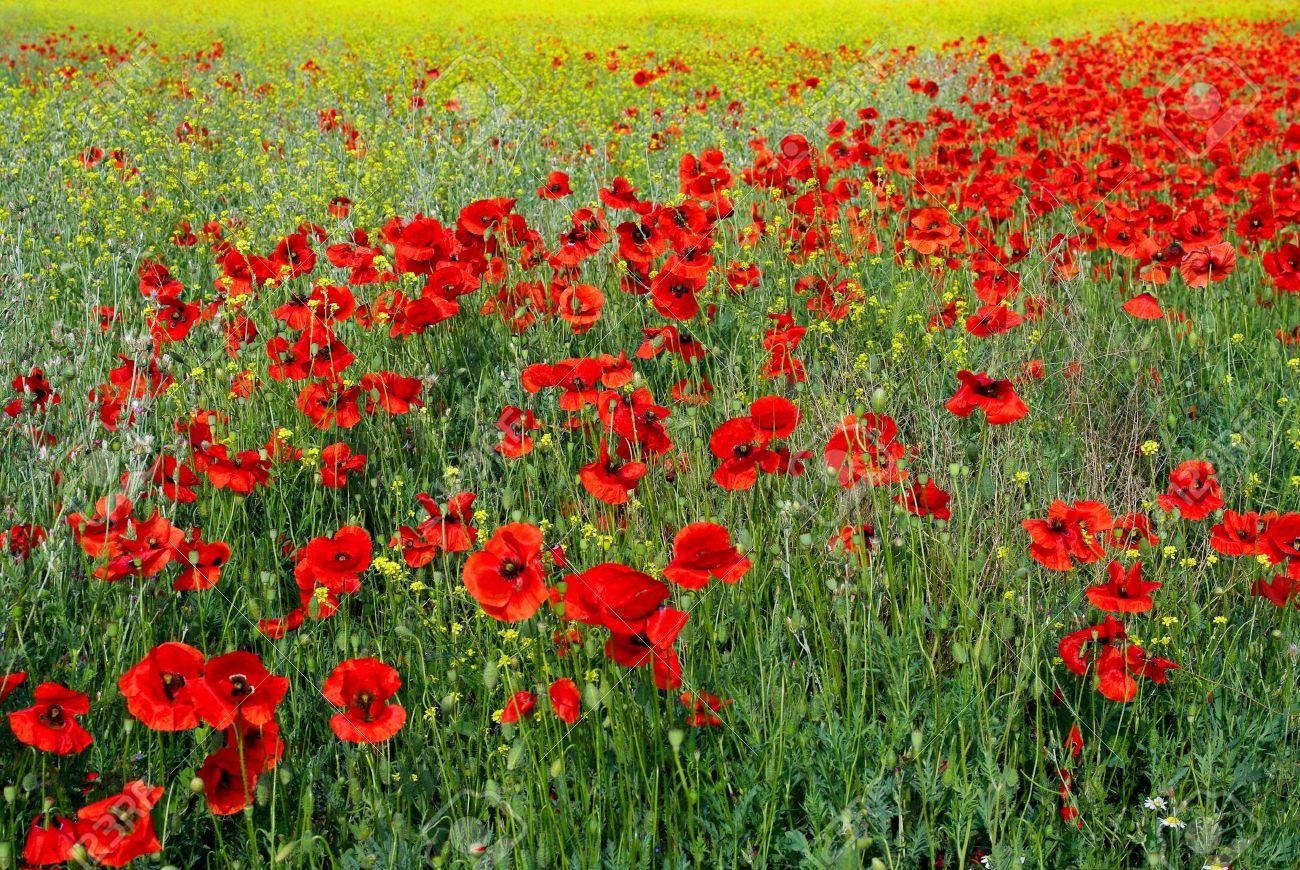 Red poppy flowers on the field in spring flowering meadow with red poppy flowers on the field in spring flowering meadow with poppies floral background rural mightylinksfo
