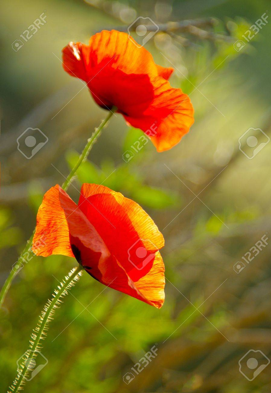 Two Red Poppy On The Field Macro Shot Flowering Poppies In