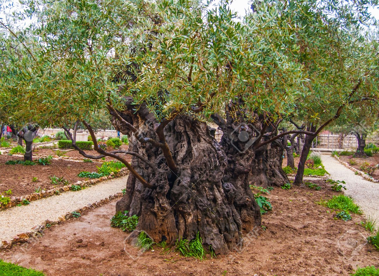 Olives Jerusalem Garden Of Gethsemane Israel Stock Photo Picture