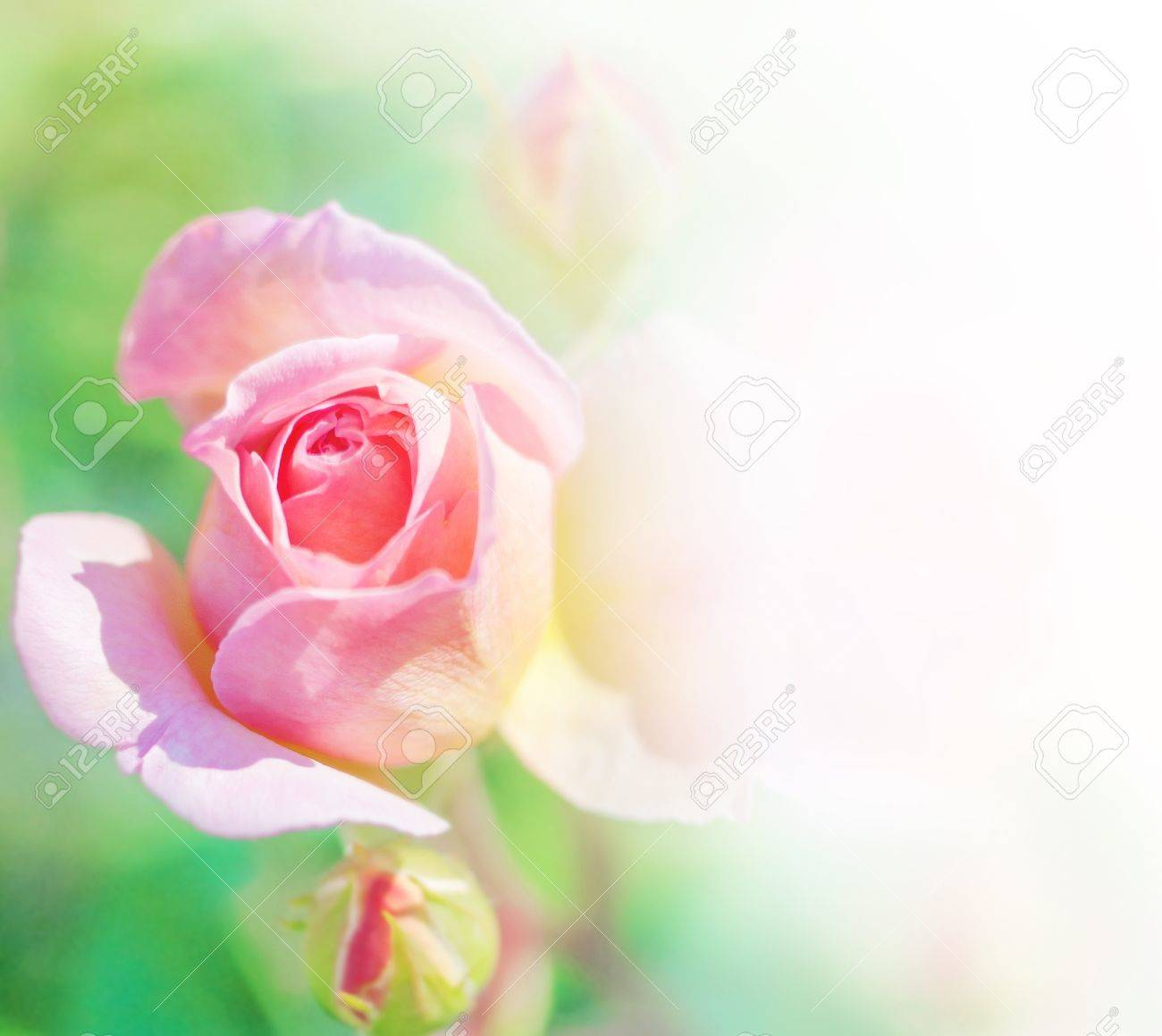 bouquet of pink roses with a border for text Stock Photo - 13779532