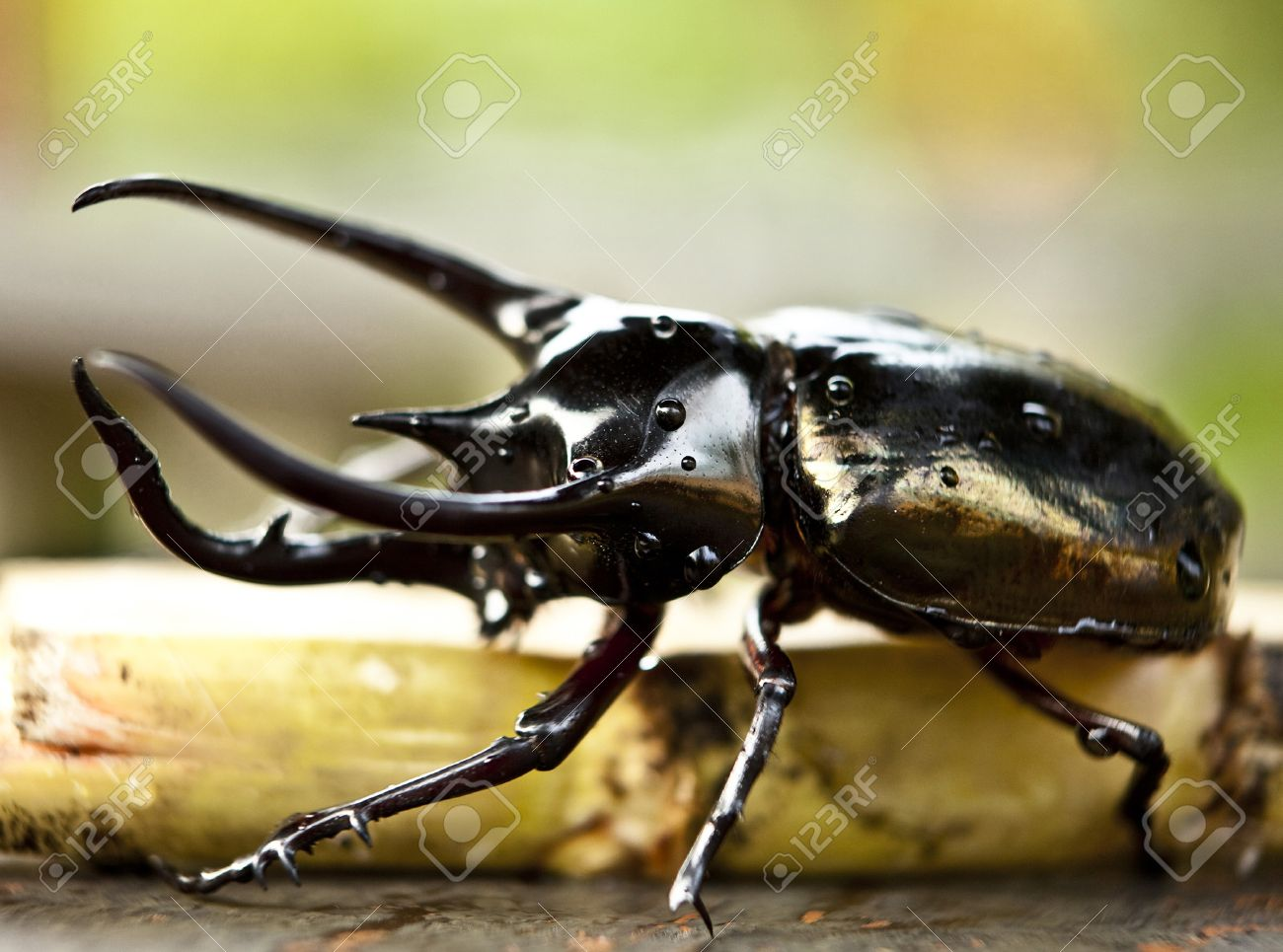 Horned beetle insect