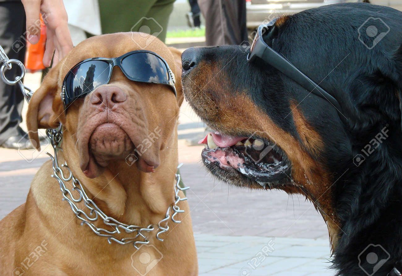 Couple of dog muzzles with sunglasses Stock Photo - 636635
