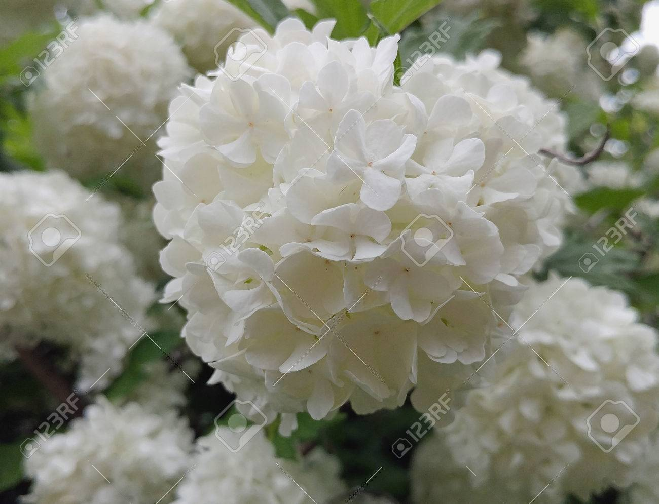 List Of Synonyms And Antonyms Of The Word Snowball Flowers