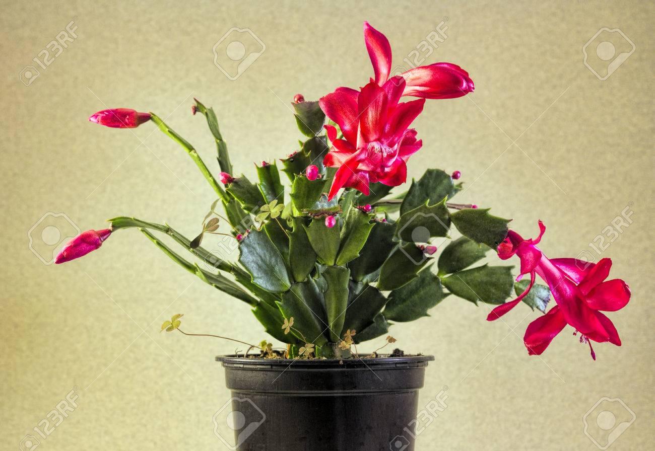 Christmas Cactus Plant.Red Christmas Cactus Plant