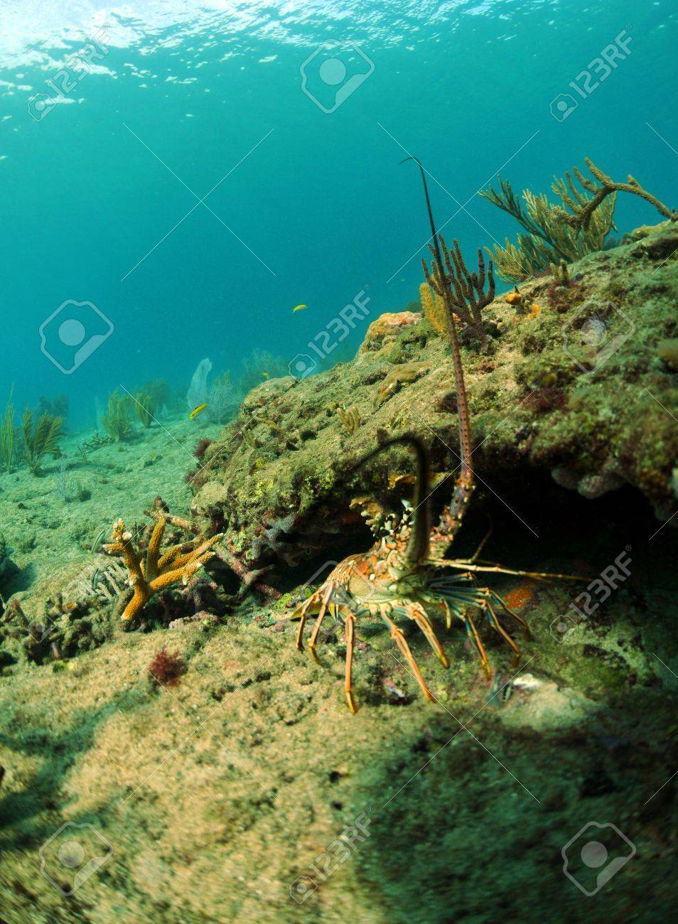 Lobster fishing spiny lobster in natural habitat in ocean with gorgonians in background stock photo