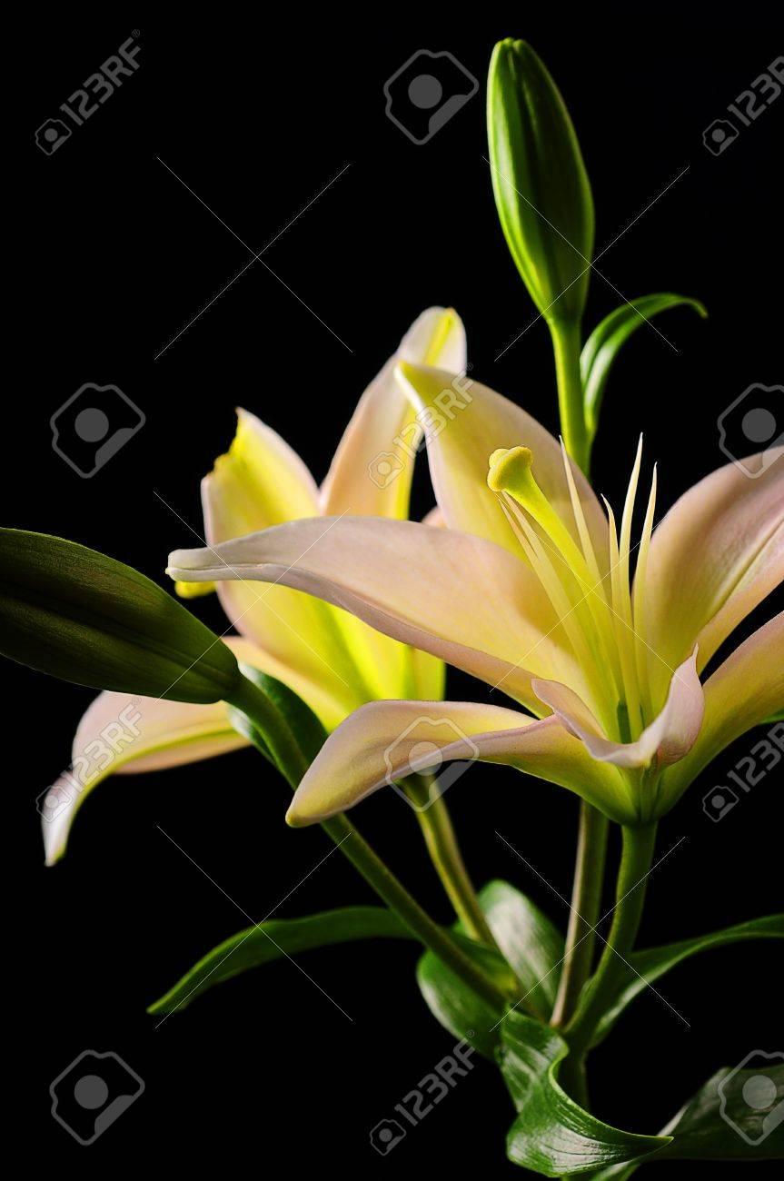 White Stargazer Lily Flower On Black Background Stock Photo Picture