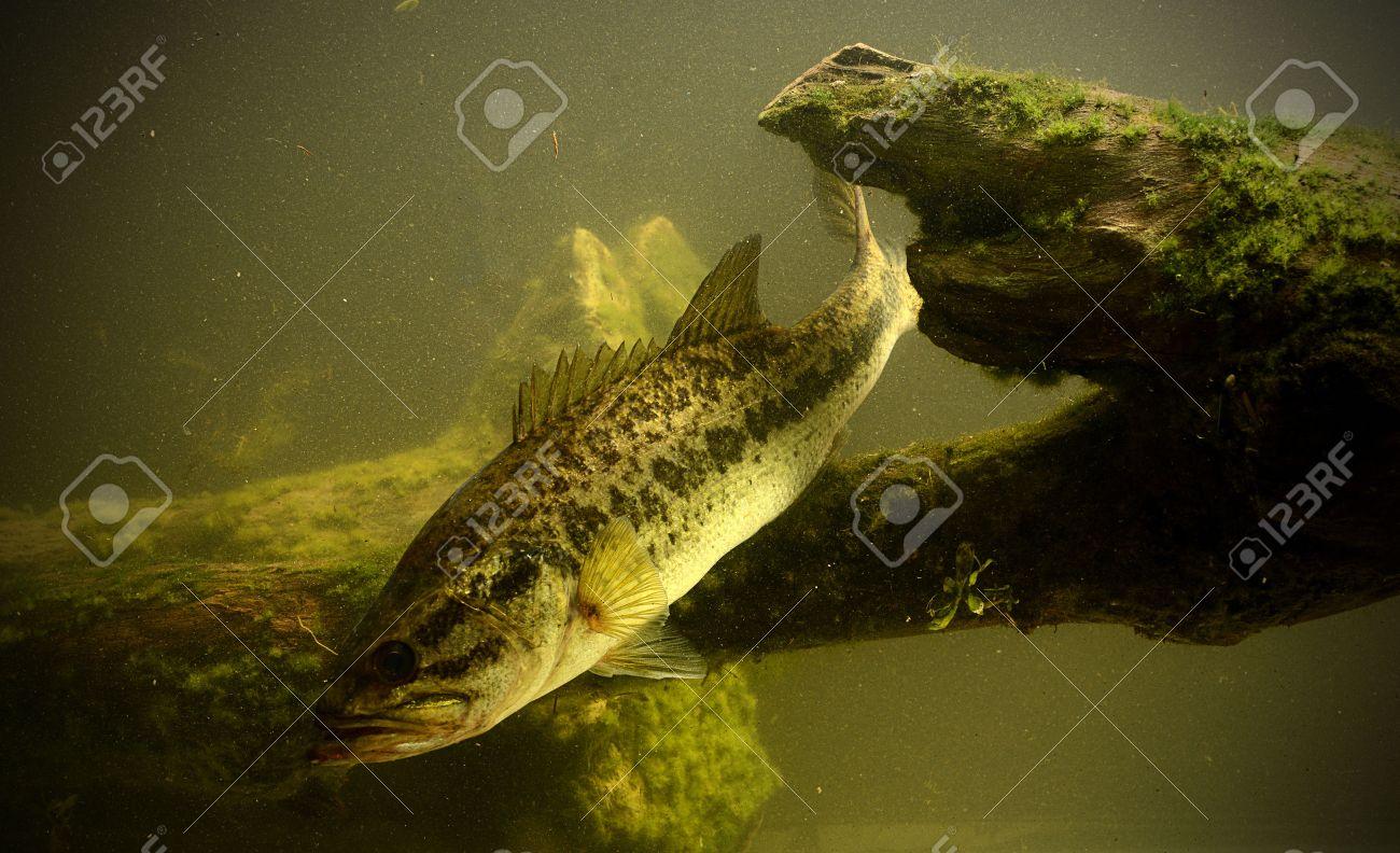 Freshwater fish jumping - Bass Fish Jumping Fishing For Largemouth Bass Fish In Fresh Water Stock Photo