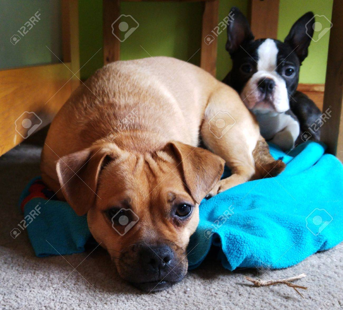 Boston Terrier And Jack Russell Pug Cross Puppies Stock Photo
