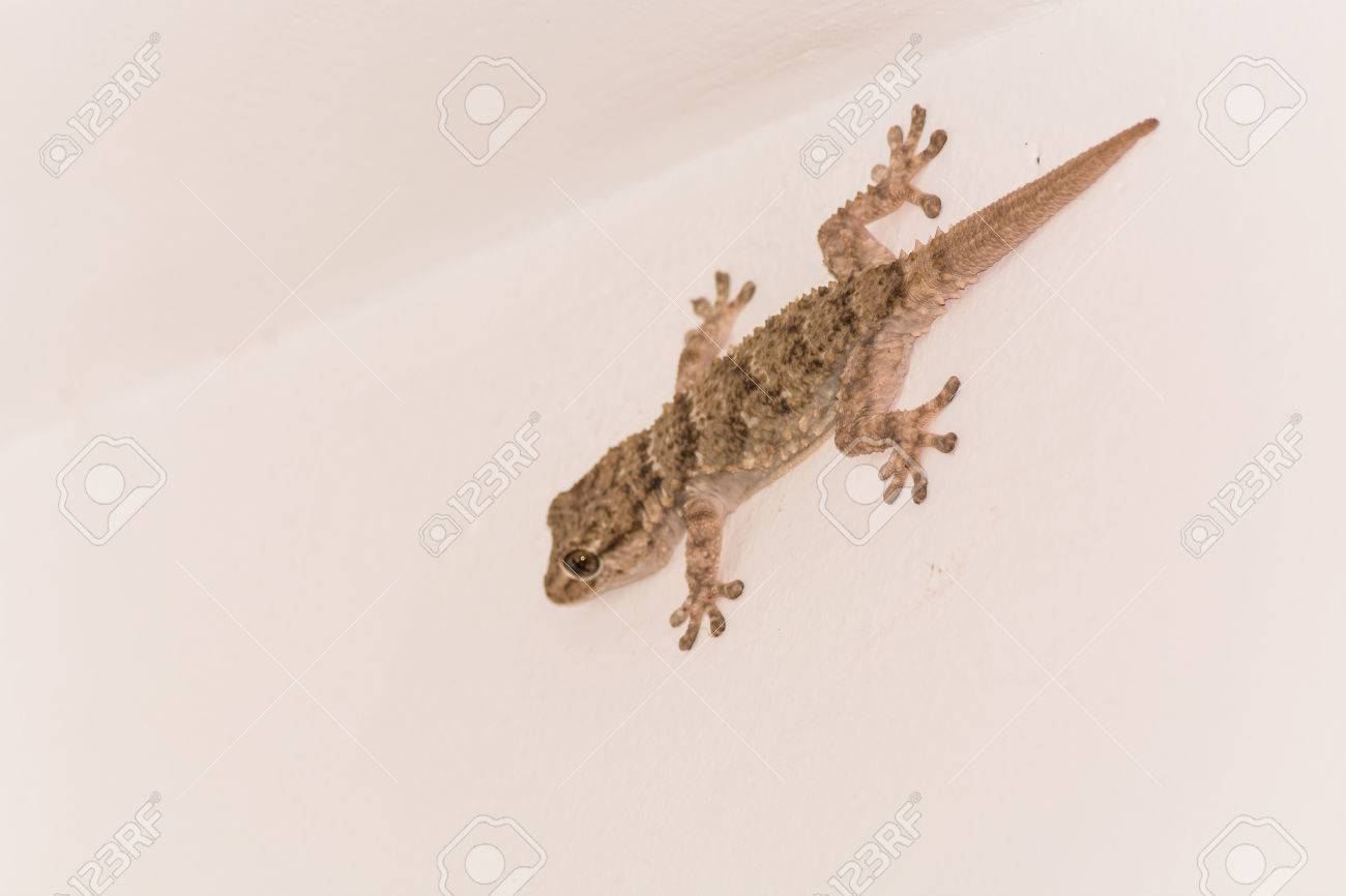 gekko small iguana on a white house wall stock photo picture and