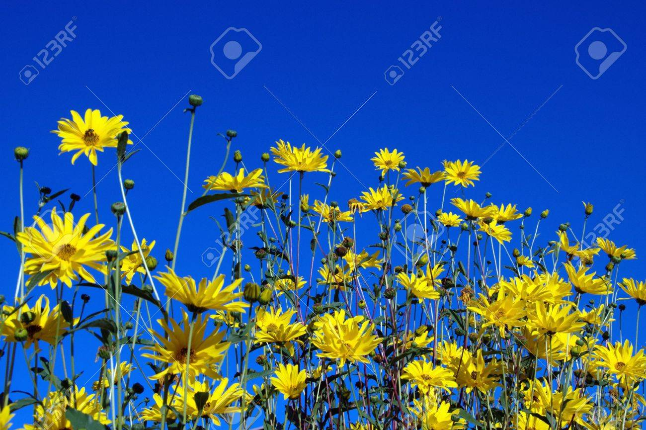 Yellow flowers in front of blue sky for background or textures Stock Photo - 10570662