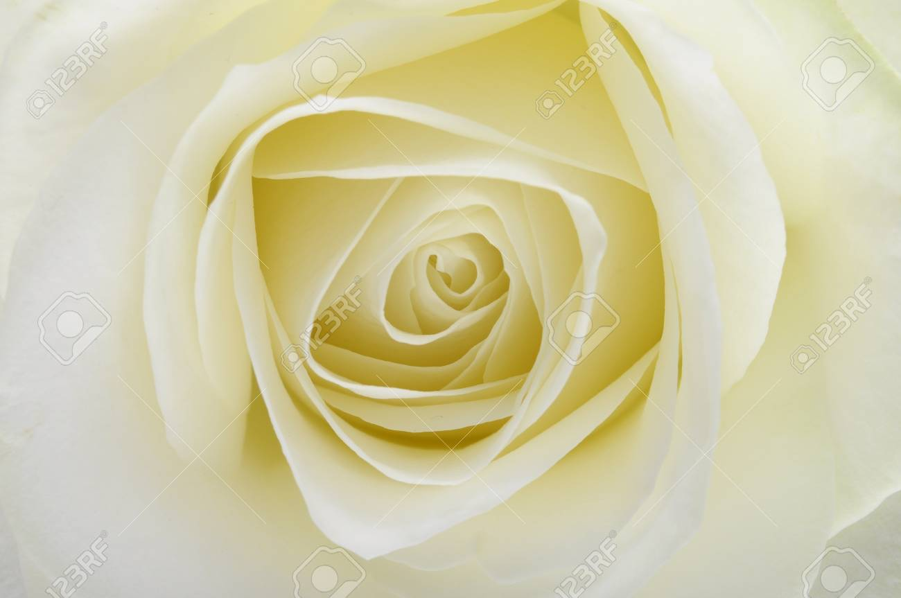 Macro of white rose heart and petals Stock Photo - 13469626