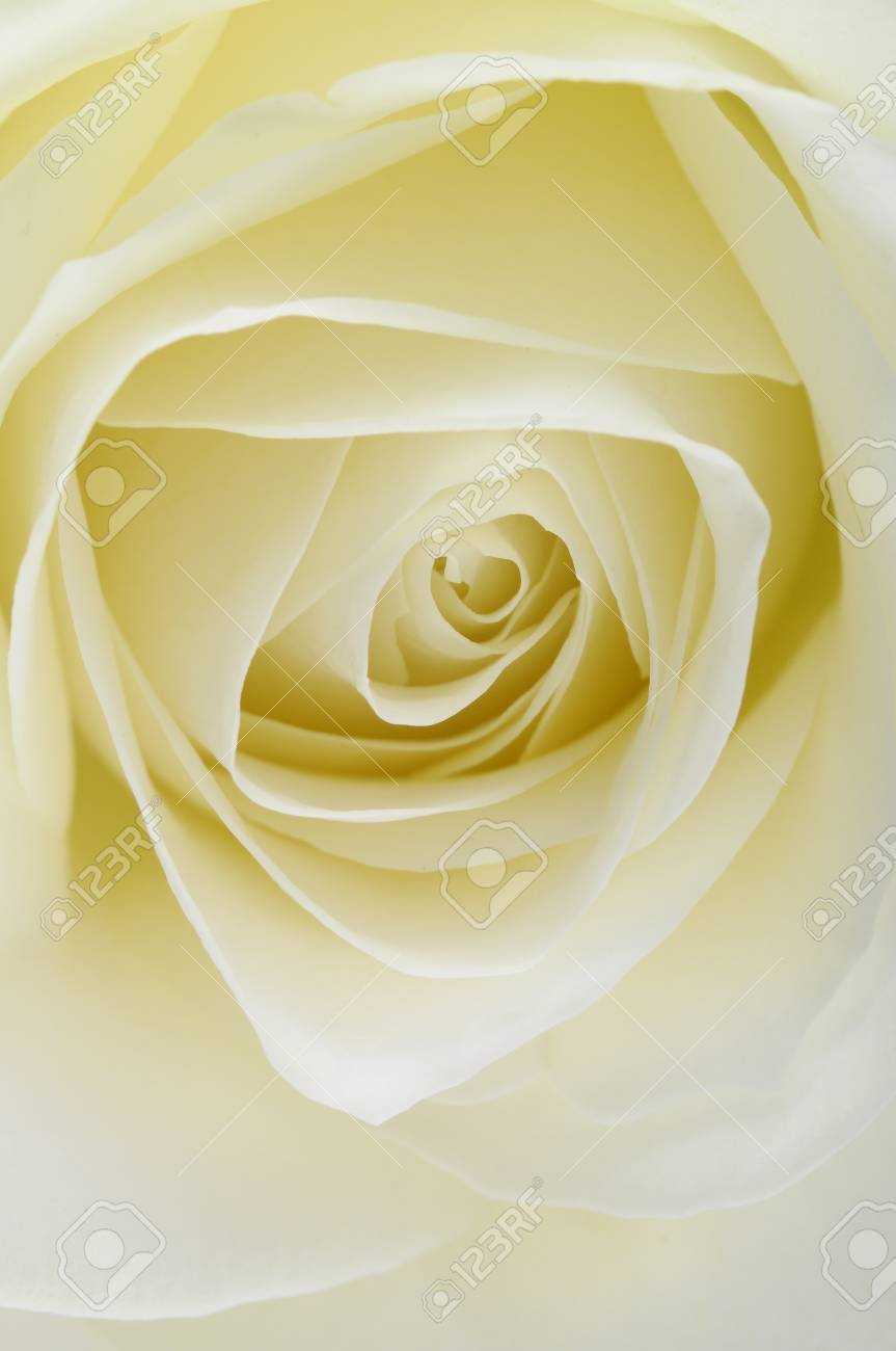 Macro of white rose heart and petals Stock Photo - 13533289