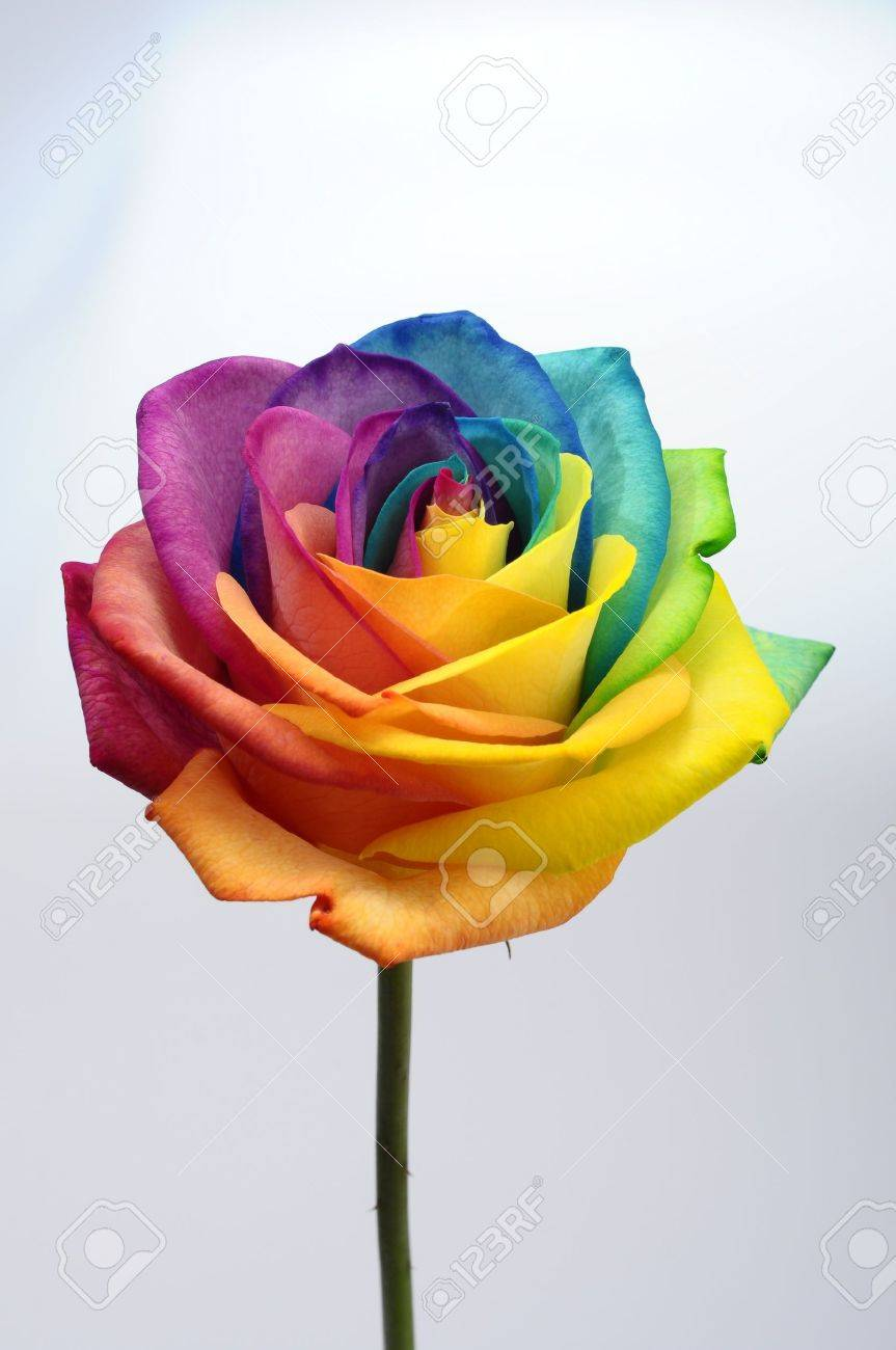 macro of rainbow rose heart flower and multi colored petals stock