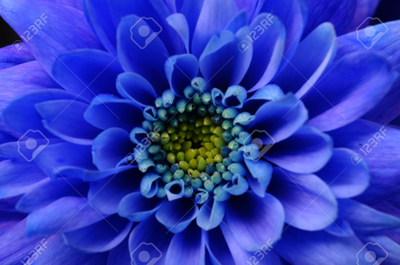 Close Up Of Blue Aster Flower For Background Stock Photo Picture