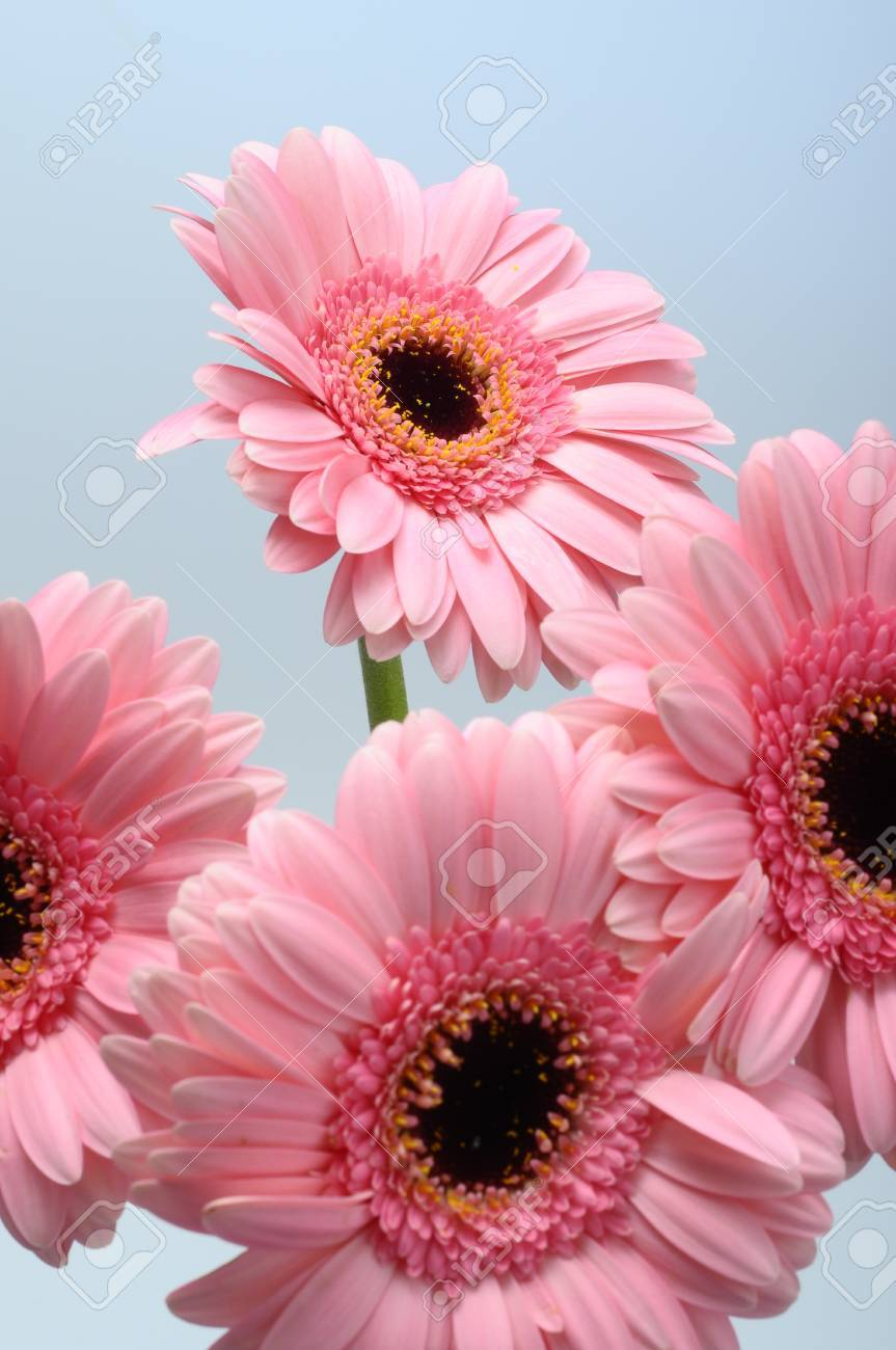 Close Up Of Pink Daisy Flower Bouquet Stock Photo, Picture And ...