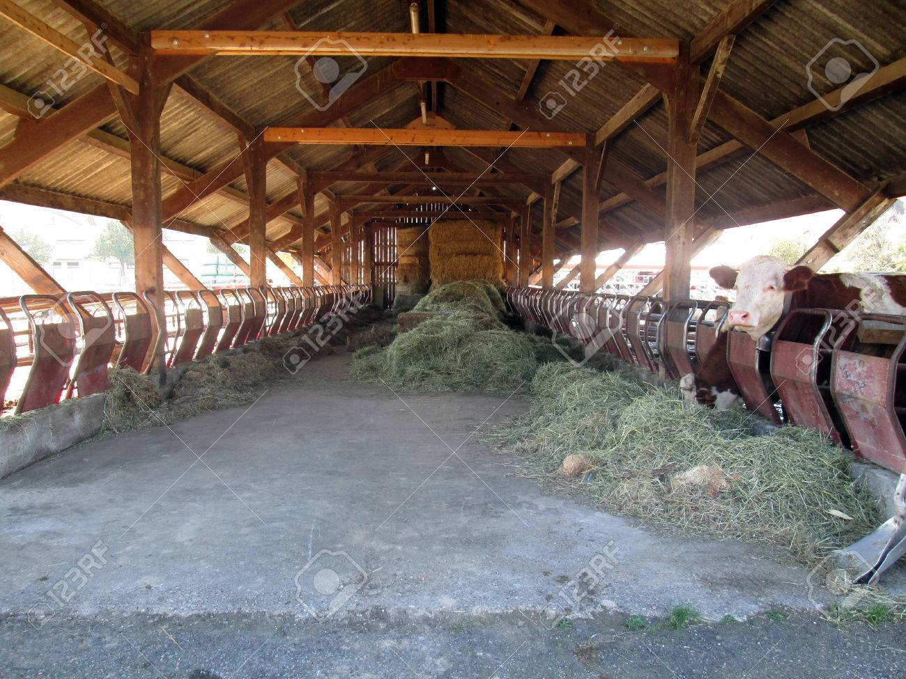 Inside Of House And Barn Cow In A Farm France Stock Photo