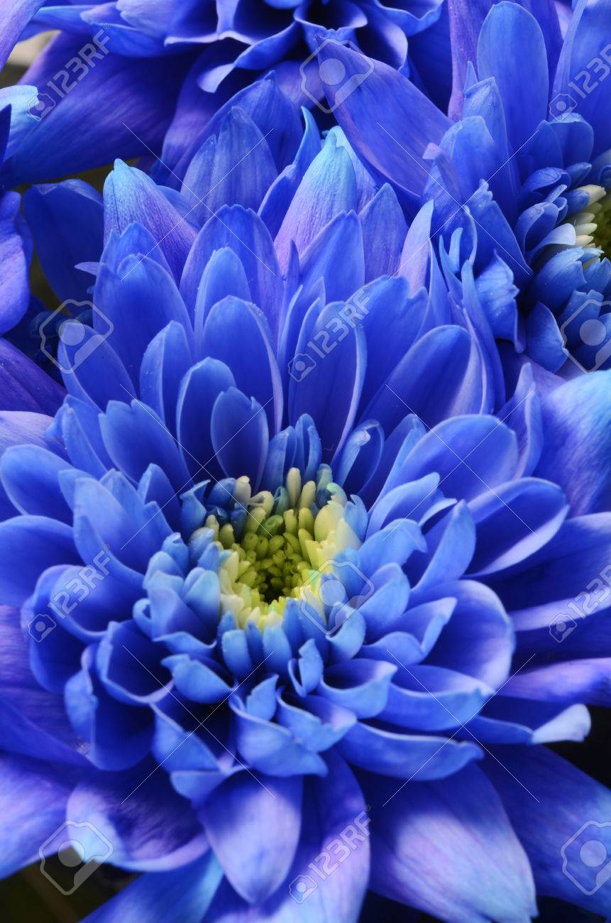 Macro Of Blue Aster Flower Petals Stock Photo Picture And Royalty