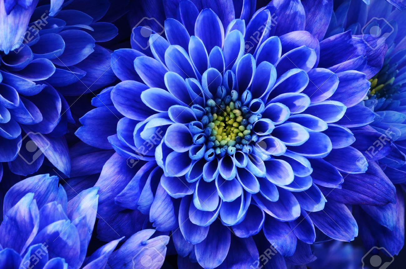 Gros Plan De Fleur Bleue Aster Avec Des Petales Bleus Et Coeur
