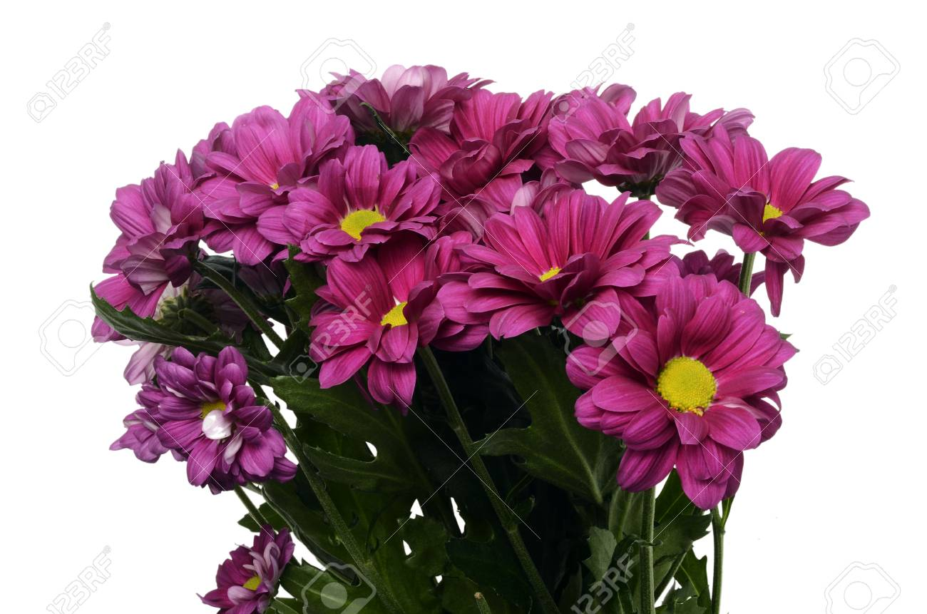 Close Up Of Daisy Purple Flowers Stock Photo Picture And Royalty