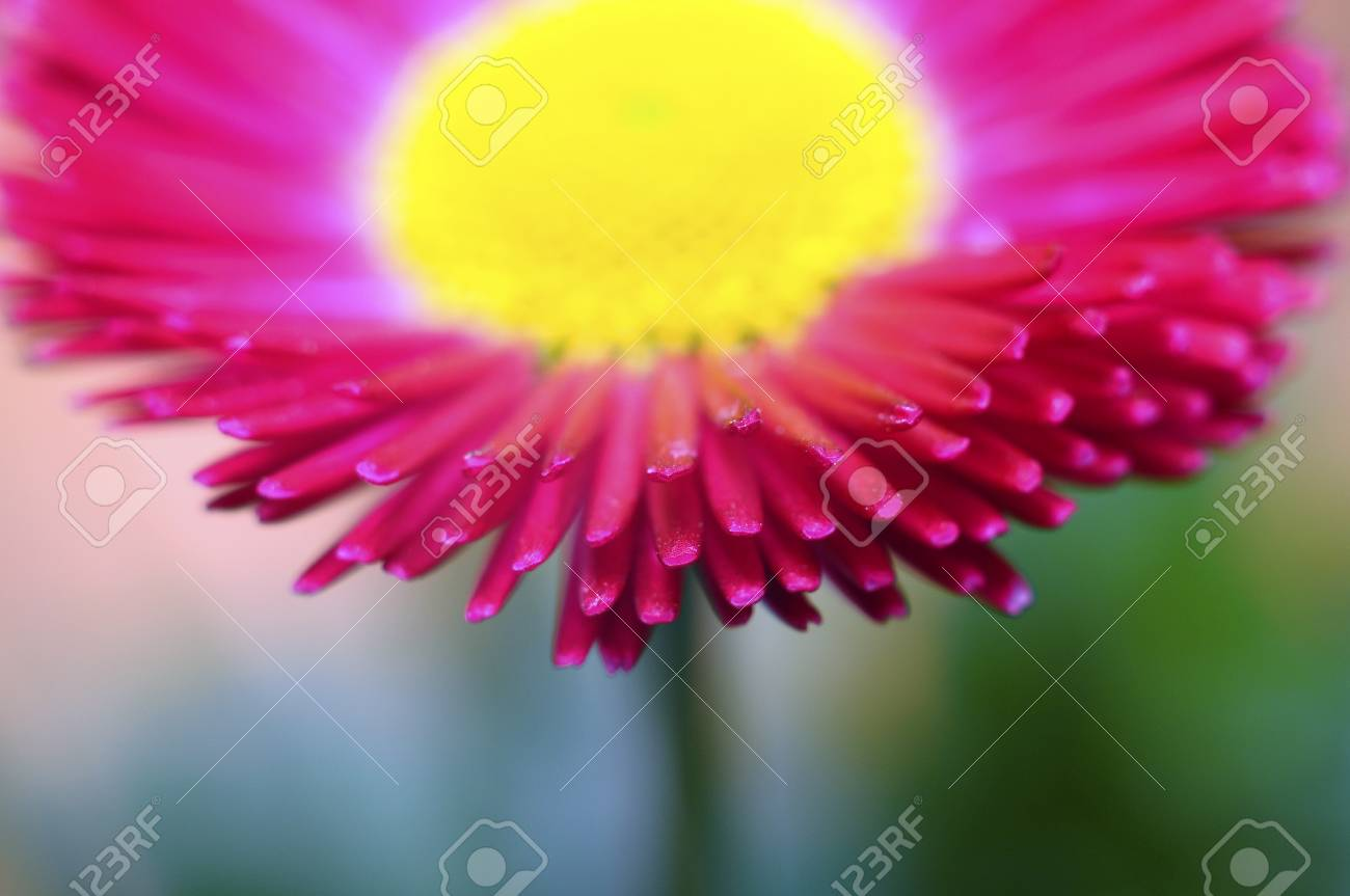 Close Up Of Pink And Yellow Daisy Flower Heart And Petals Stock
