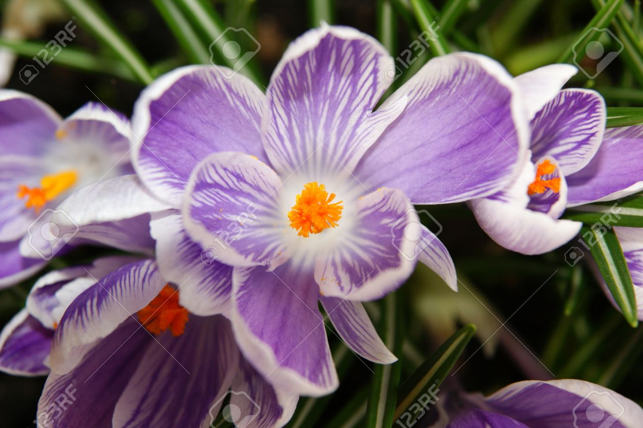 Macro photo of crocus the color shades of purple and white flowers the color shades of purple and white flowers bloom in mightylinksfo