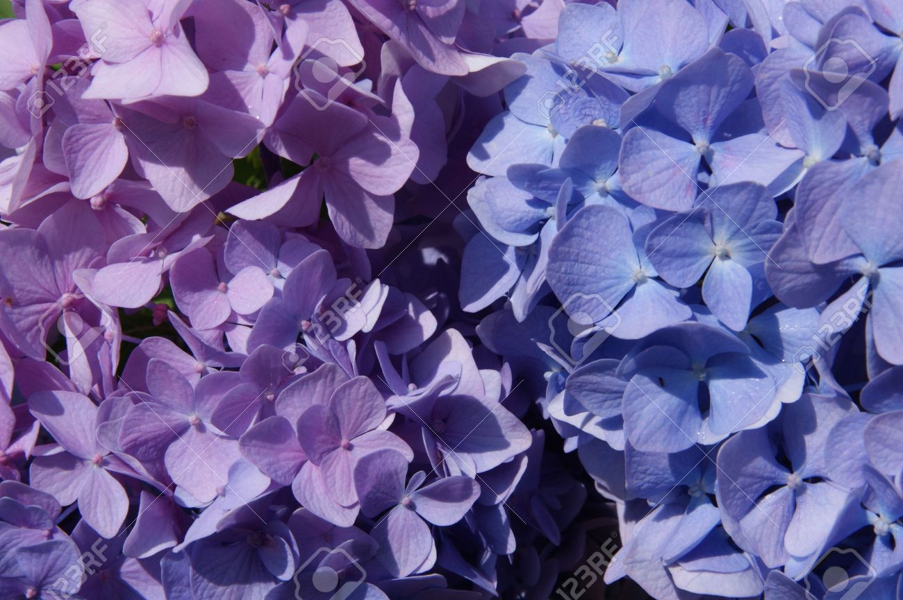 Macro Photo Of Hydrangeas The Color Shades Of Purple And Blue