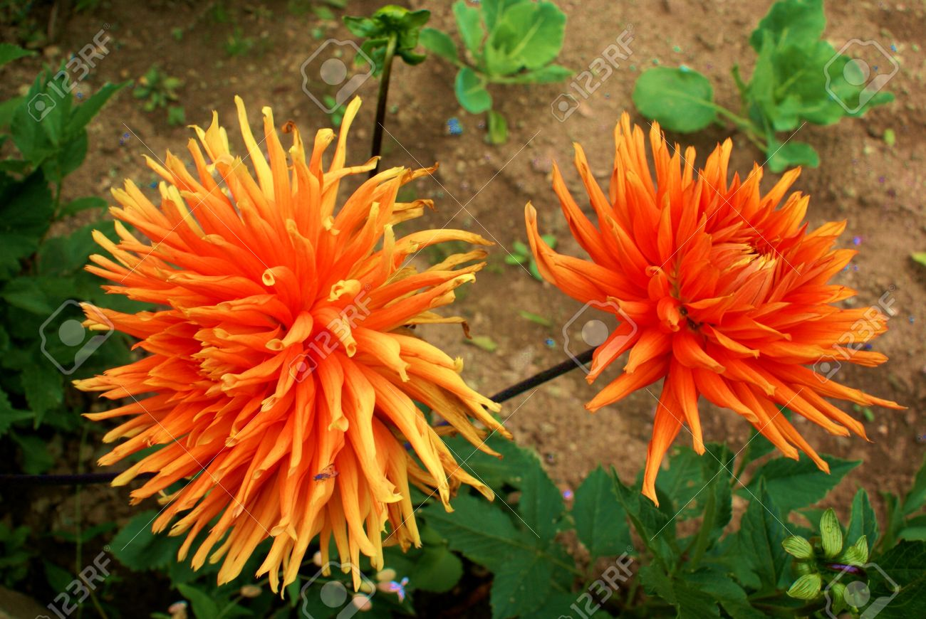 dahlia is a genus of bushy summer and autumn flowering tuberous