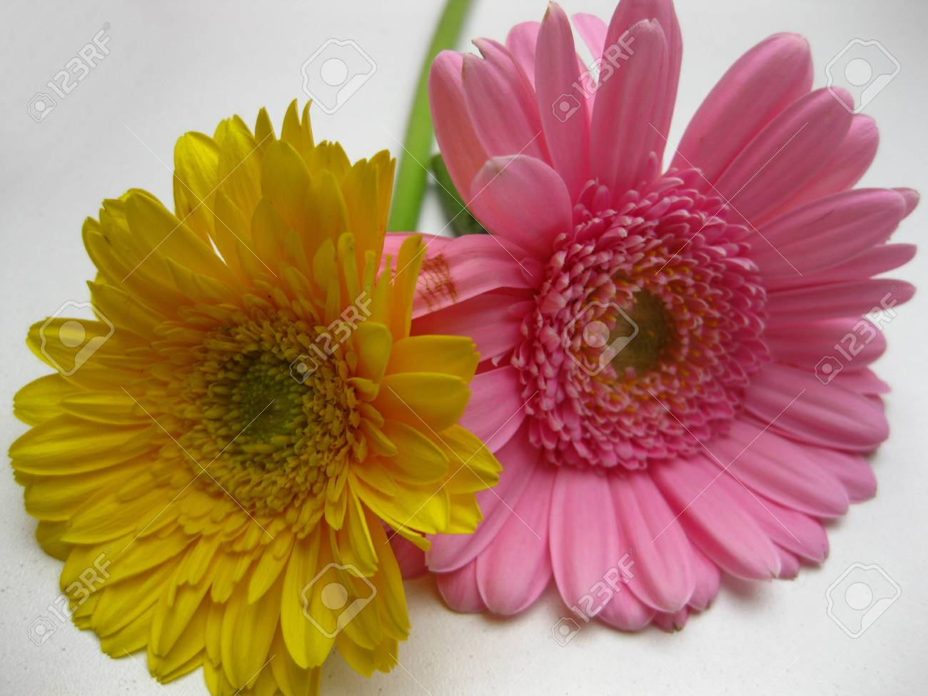 yellow and pink daisies Stock Photo - 4206670
