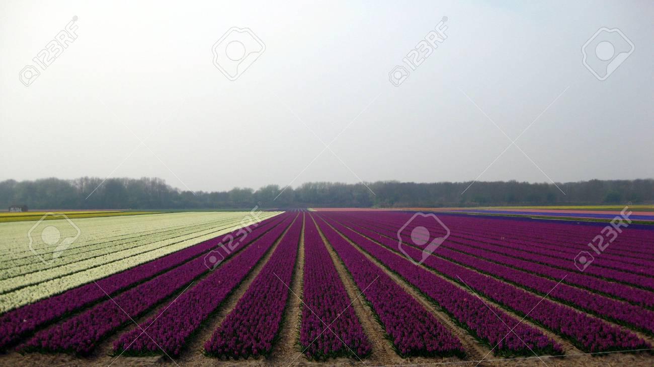 deep purple and white hyacints (panorama size) Stock Photo - 4664853