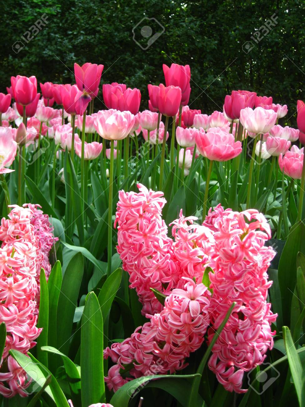 Pink hyacints and tulips Stock Photo - 4772809