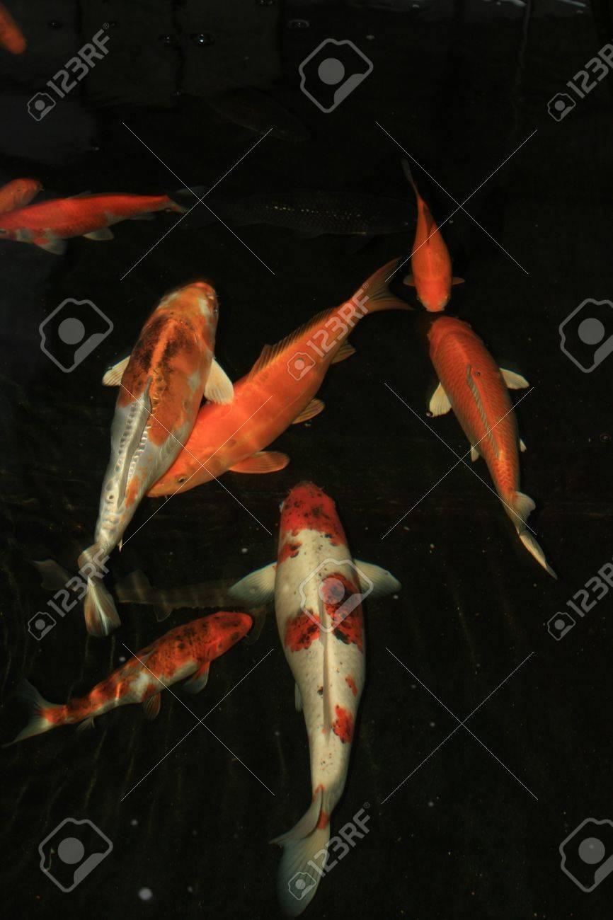 A group of orange white Japanese koi carp fish Stock Photo - 5869490