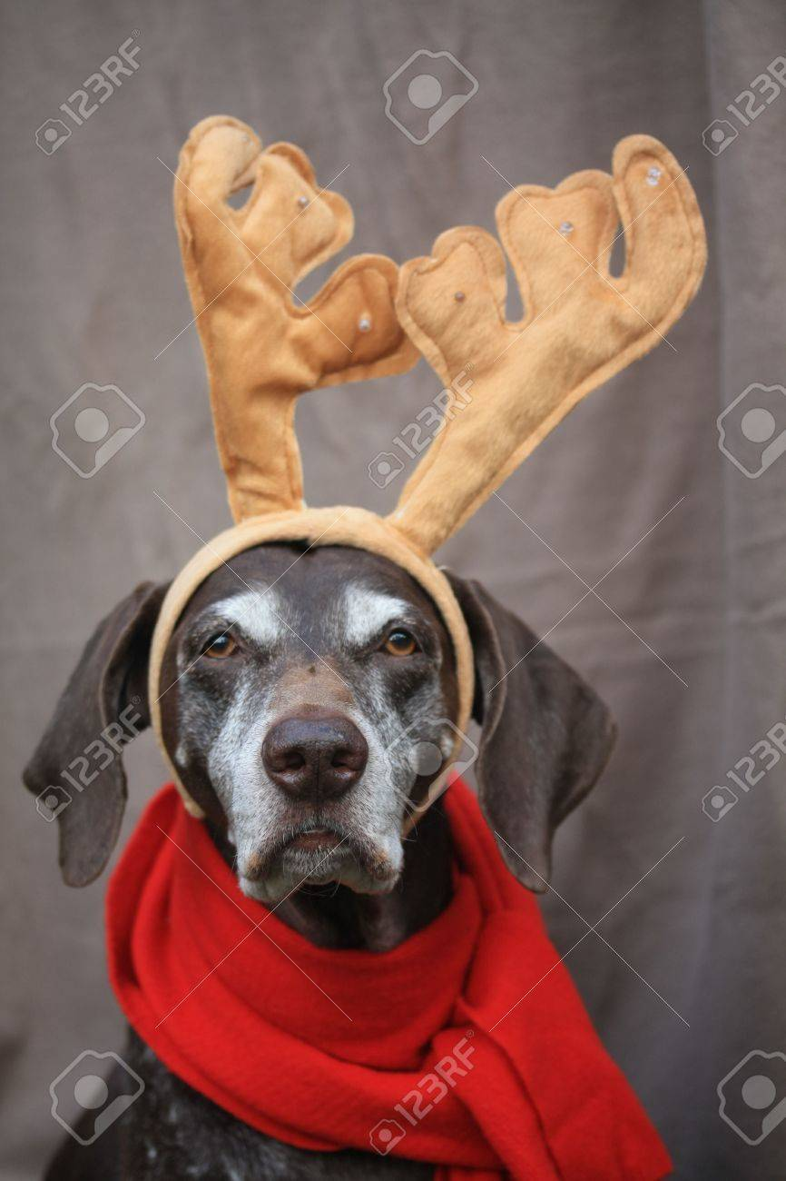 A german shorthaired pointer with additional reindeer horns Stock Photo - 6071886