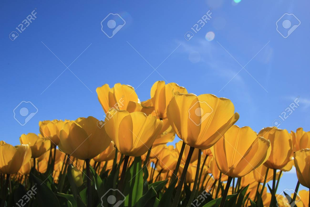 Field full of yellow tulips and a clear blue sky Stock Photo - 13461800