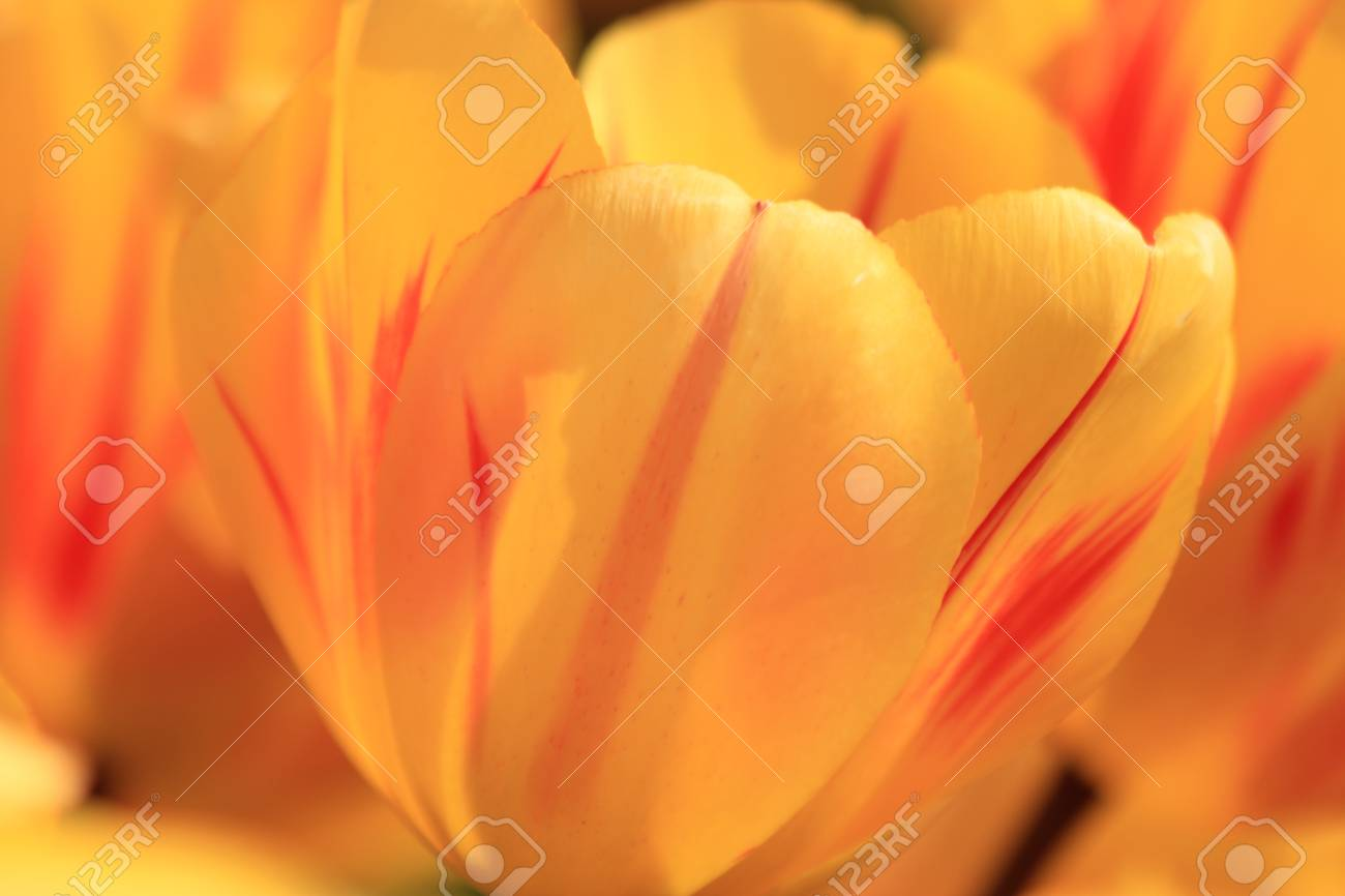 yellow tulips with a touch of red on a field Stock Photo - 13461667