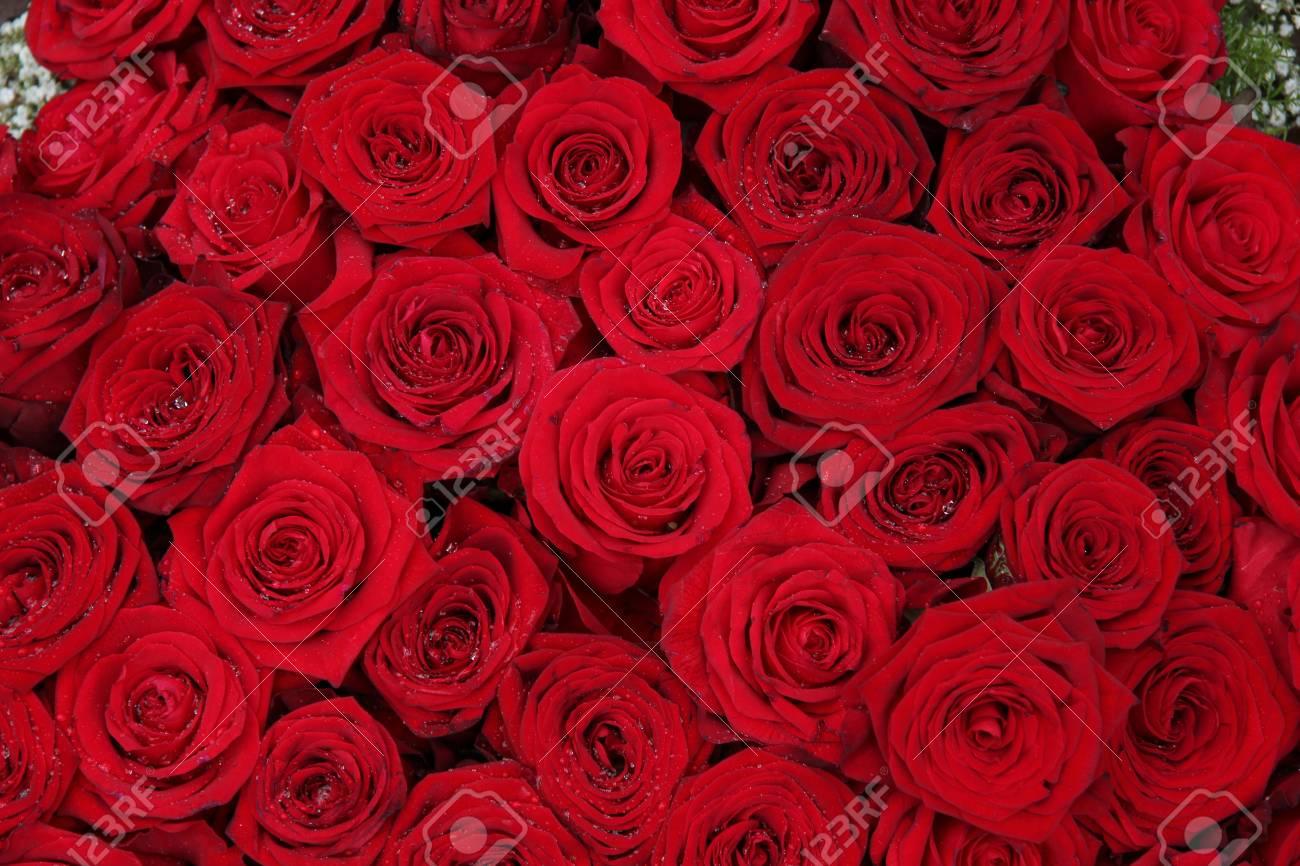 foto de archivo grandes rosas rojas en un grupo perfecto como teln de fondo - Fotos De Rosas Rojas Grandes