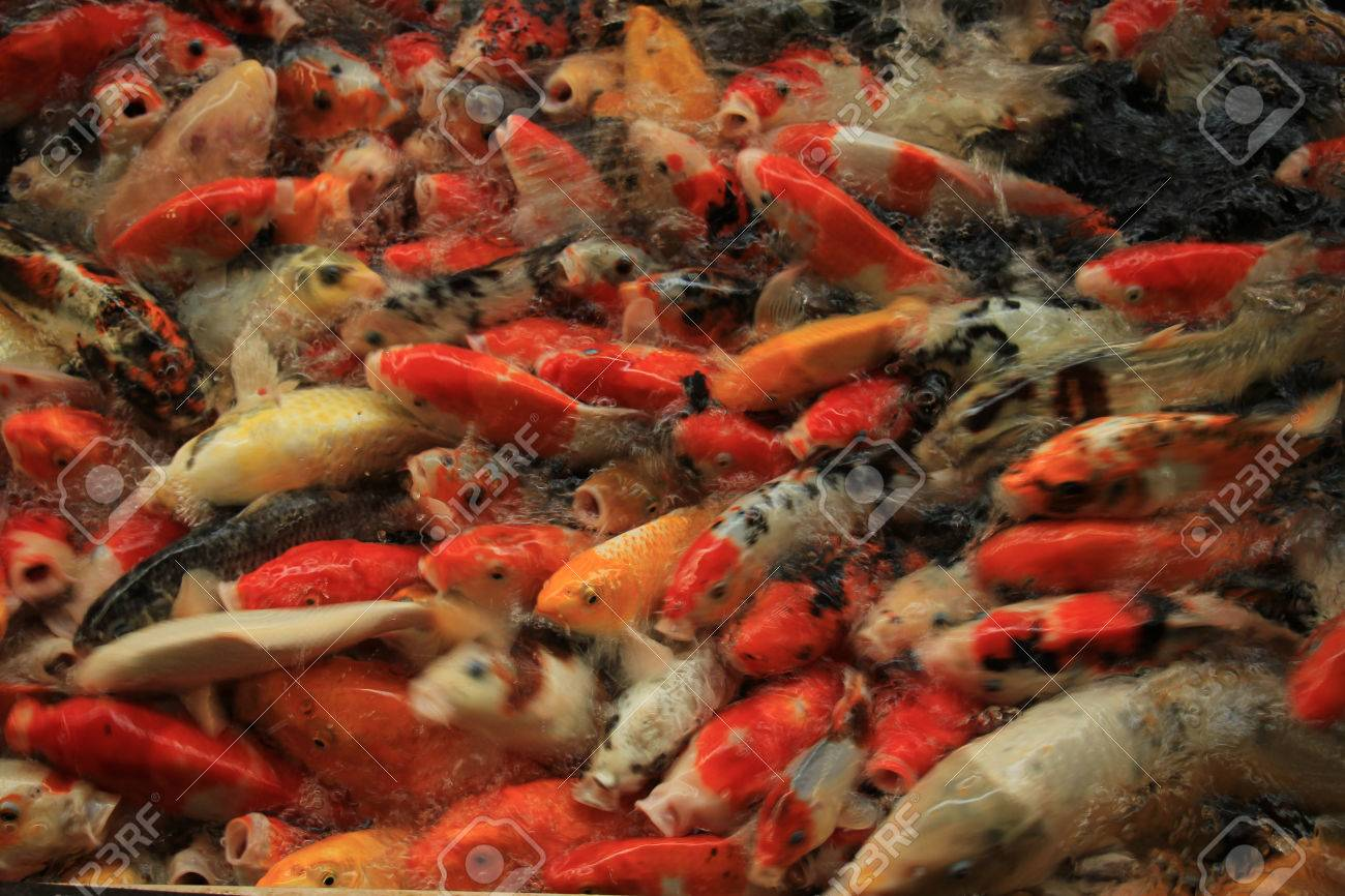 Koi Carps In Various Colors And Sizes In A Fish Pond Stock Photo ...