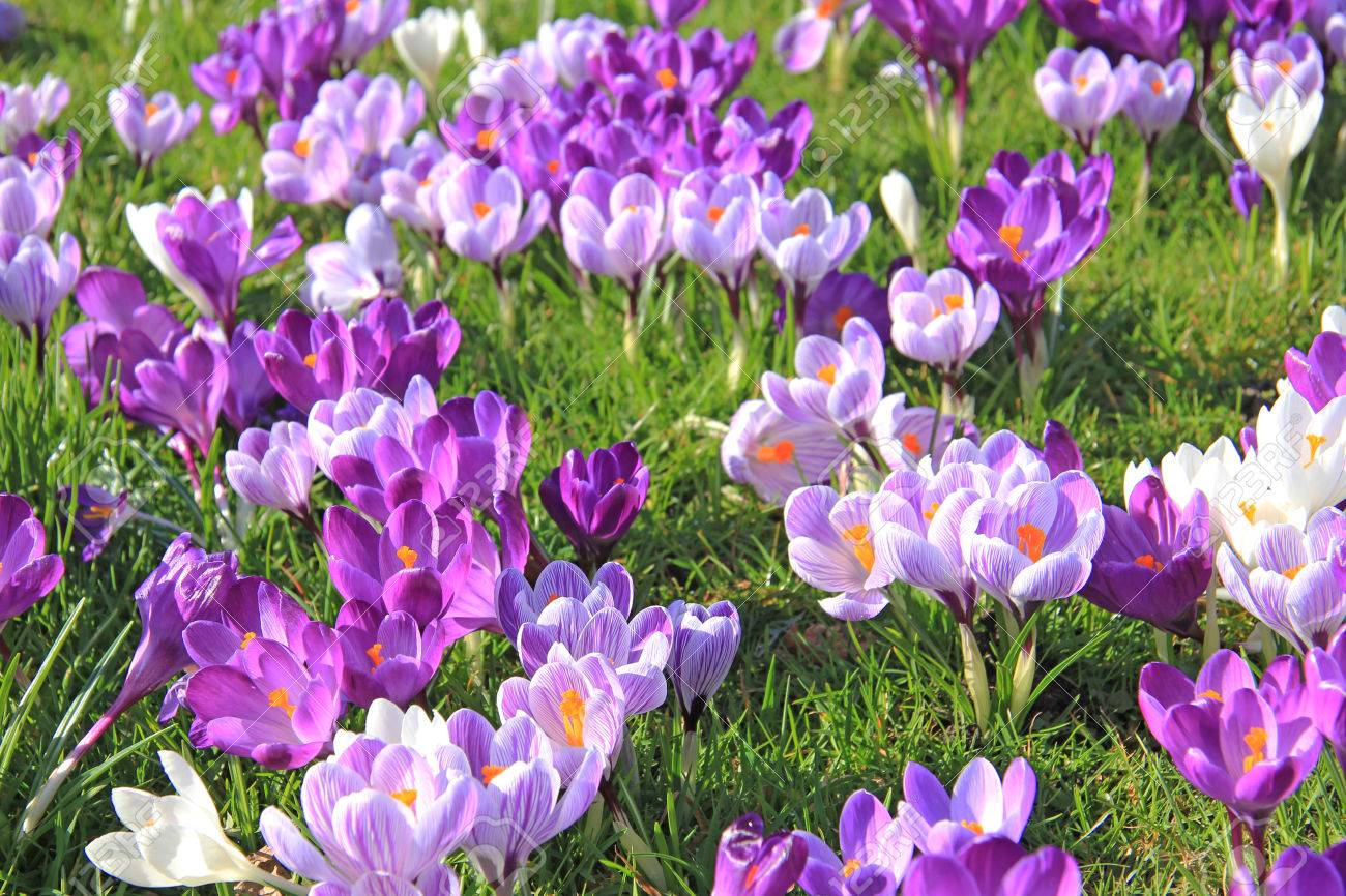 Purple and white crocuses on a field - 68700680