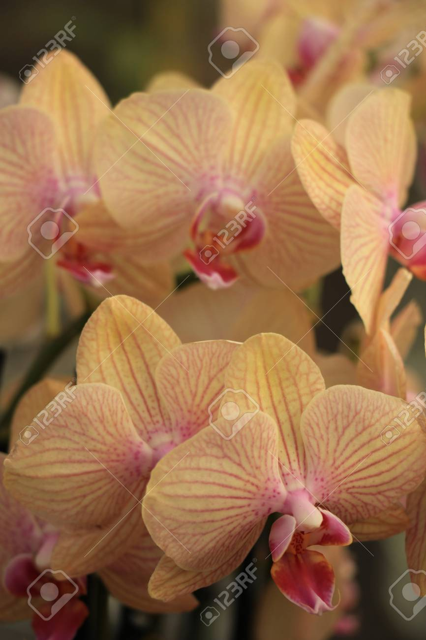 phalaenopsis orchid pale yellow and pink stock photo picture and