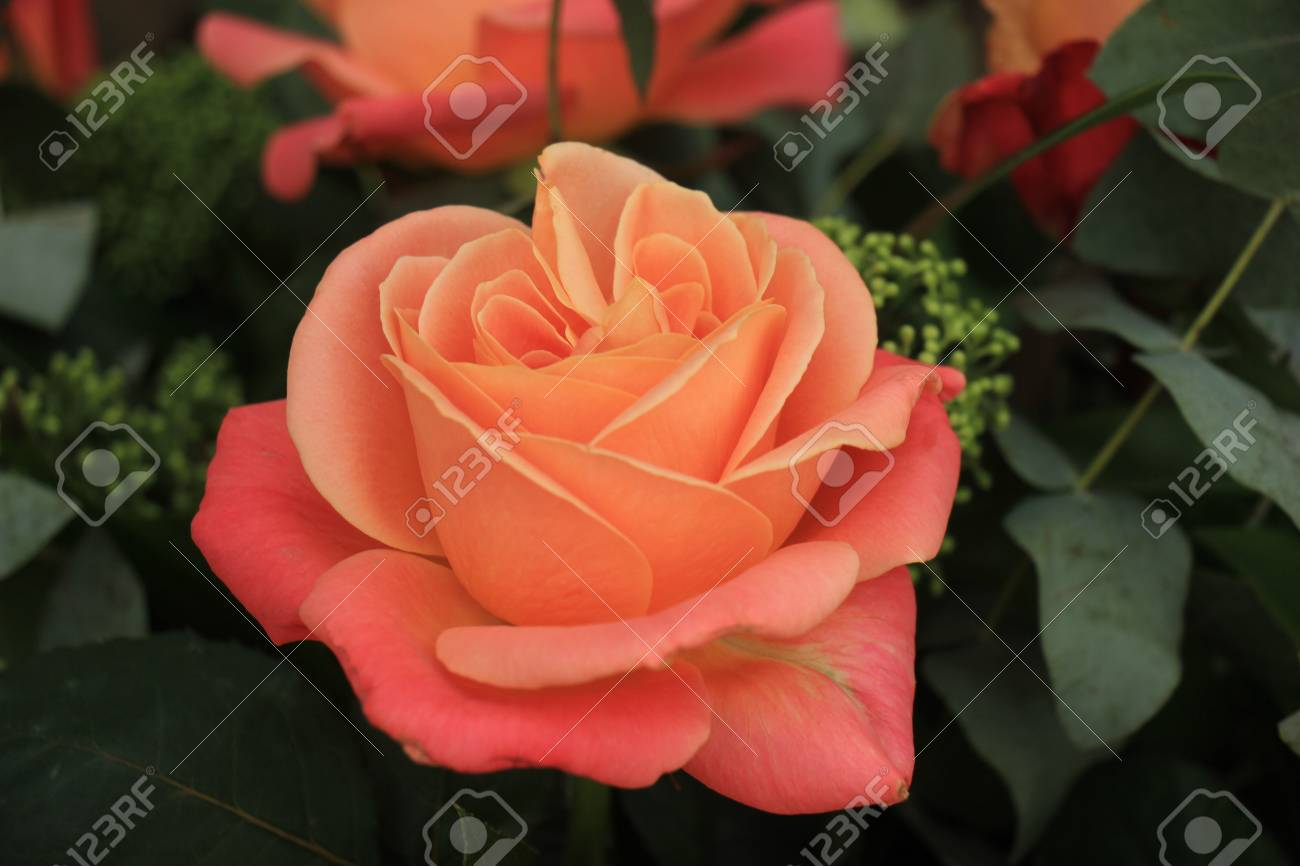 Single Big Pink Rose In A Wedding Bouquet Bridal Flowers Stock
