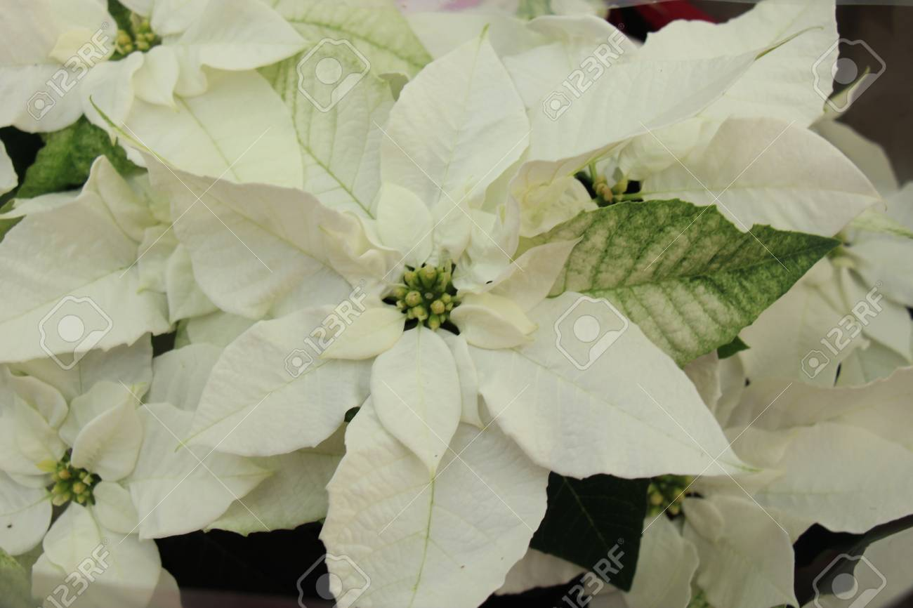 Group Of White Poinsettia In Full Flower Christmas Season Plants Stock Photo Picture And Royalty Free Image Image 101666233