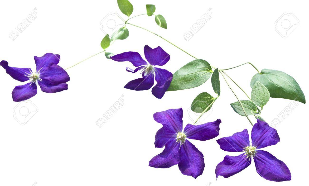 clematis vines on white background stock photo